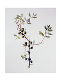 Ripening Sloes, 1996 Giclee Print by Rebecca John