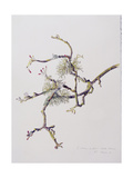 Lichens on Crab Apple Tree, 2001 Giclee Print by Rebecca John
