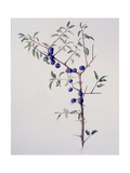 Ripened Sloes, 1996 Giclee Print by Rebecca John