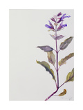 Flowering Sage, 1995 Giclee Print by Rebecca John