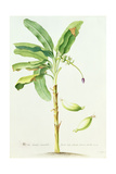 Banana Tree Giclee Print by Georg Dionysius Ehret