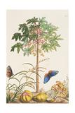 Pawpaw Tree Giclee Print by Georg Dionysius Ehret