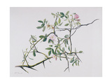 Dog Rose Tangling with Blackthorn, 1998 Giclee Print by Rebecca John