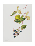 Blackberry Branch, 2003 Giclee Print by Rebecca John