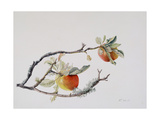 Apple Branch, 1999 Giclee Print by Rebecca John