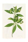 Diandria Monogynia, Justicia Adhatoda of Linnaeus Giclee Print by George Edwards