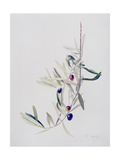 Branch of Ripening Black Olives, 1999 Giclee Print by Rebecca John