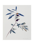 Olive Branch, 1995 Giclee Print by Rebecca John