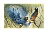 Blue-Bird of Paradise, 1909 Giclee Print by Edward Adrian Wilson