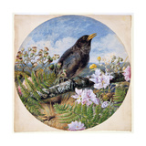 Blackbird, 1864 Giclee Print by Harrison William Weir