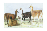 A Group of Llamas, from 'The Knowsley Menagerie', July 9th 1844 Giclee Print by Benjamin Waterhouse Hawkins