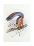 Squirrel, October 1850 Giclee Print by Joseph Wolf
