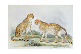 Cheetahs, from 'The Knowsley Menagerie', October 1845 Giclee Print by Benjamin Waterhouse Hawkins