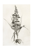 Fly Orchid Old Illustration (Ophrys Insectifera) Prints by  marzolino