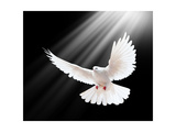 A Free Flying White Dove Isolated On A Black Background Prints by  Irochka