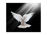 A Free Flying White Dove Isolated On A Black Background Print by  Irochka