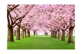 Gourgeous Cherry Trees In Full Blossom Kunst af Smileus