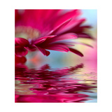 Closeup Of Pink Daisy-Gerbera With Soft Focus Reflected In The Water Prints by  silver-john
