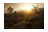 Beautiful Forest Landscape Of Foggy Sunrise In Forest With Red Deer Stag Print by  Veneratio