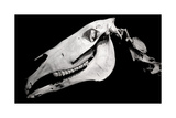 Horse Skull Profile Isolated On Black Background Posters by Eugene Sergeev