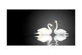 Two White Swans On Black Background Posters by  frenta
