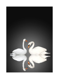 Two White Swans On Black Background Prints by  frenta