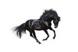 Black Stallion In Motion - On White Background Poster by Abramova Kseniya