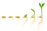 Sequence Of Pumpkin Plant Growing Isolated Evolution Concept Plakaty autor brozova