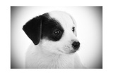 Portrait Black And White Of Jack Russell Puppy Posters by Antonio Gravante