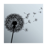 Flower Dandelion On Gray Background Premium Giclee Print by  silvionka