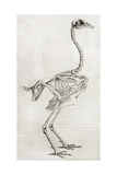 Old Illustration Of A Cock'S Skeleton Art by  marzolino