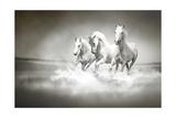 Herd Of White Horses Running Through Water Posters af  varijanta