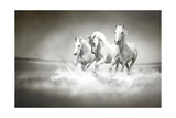 Herd Of White Horses Running Through Water Print by  varijanta