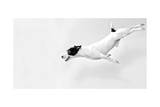Full-Length Jack Russell Terrier In Jump. Black And White Poster by  DMPhoto