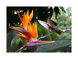 Flying Hummingbird At A Strelitzia Flower Poster by  henner