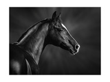 Black And White Portrait Of Arabian Stallion Posters by Abramova Kseniya