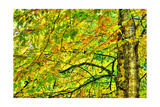 Dramatic Hdr Of Yellow Birch During Fall Posters by  Mirage3