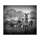Zebra In Black And White Kunst af  Donvanstaden