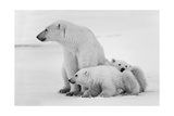 Polar She-Bear With Cubs Print by  SURZ