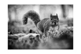 Squirrel Amongst The Leaves Poster by  peterotoole