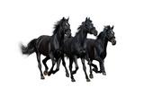 Black Horses Isolated On White Prints by Abramova Kseniya