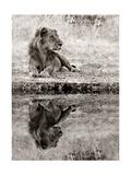 Lion Relaxing At The Waters Edge Kunstdrucke von  Donvanstaden