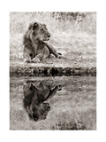 Lion Relaxing At The Waters Edge Prints by  Donvanstaden
