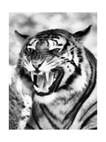 Angry Tiger Face Plakat av  Snap2Art
