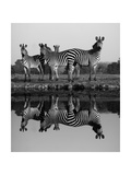 Zebra With Water Reflection Prints by  Donvanstaden