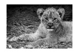 Cute Lion Cub In Black And White Poster by  Donvanstaden