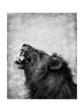 Lion Displaying Dangerous Teeth Poster von  Donvanstaden
