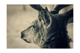 Deer Head, Closeup Shot. Toned Prints by  pashabo