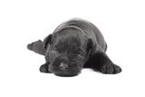 Miniature Schnauzer Black Puppy Prints by  Koljambus
