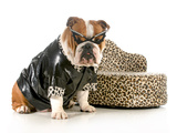 Female Bulldog Humanized With Leather Coat And Glasses Sitting Beside Couch Isolated Photographic Print by Willee Cole